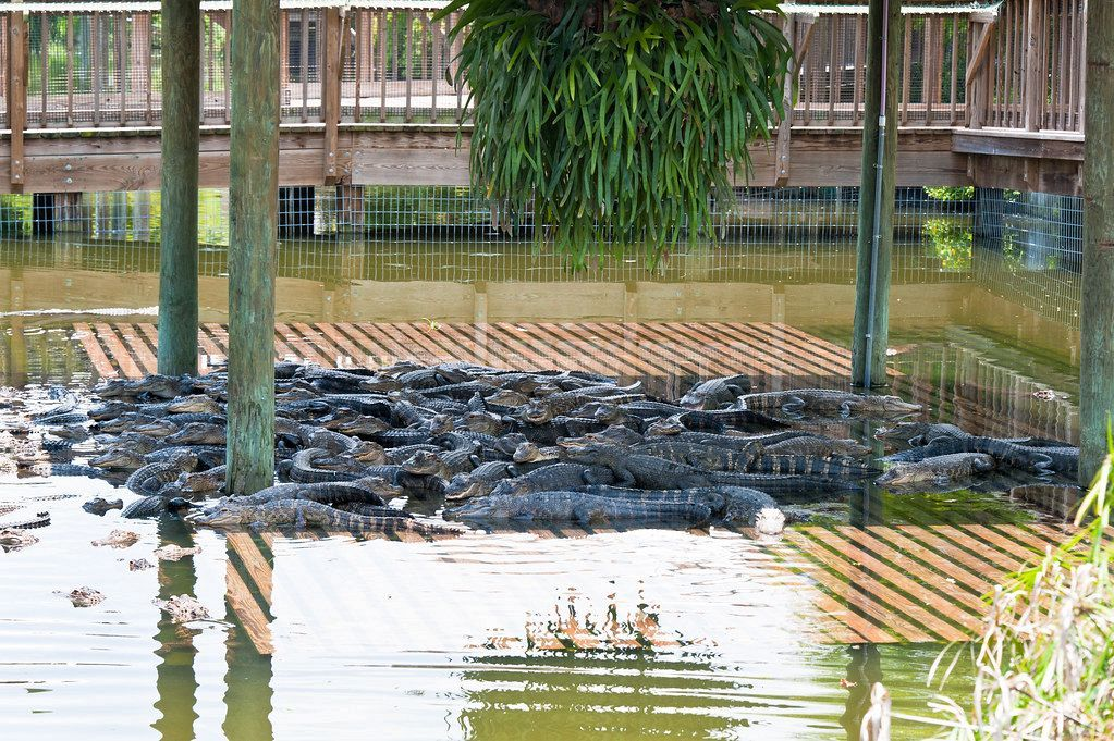 Gatorland is a unique tourist attraction because it specializes in wildlife and wildlife preservation. In fact, it is widely known as the Alligator Capital of the World.